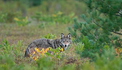 Rare Wolf or Common Coyote? It Shouldn't Matter, But It Does