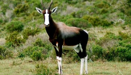 Ever Heard of the Bontebok? It's an African Animal Humans Nearly Destroyed, Then Saved